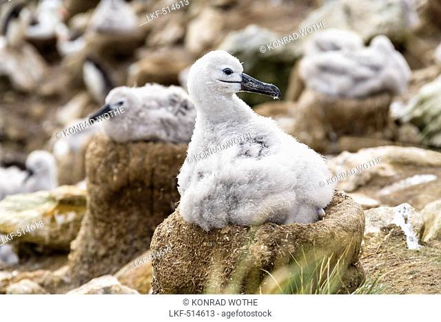 Young Black-browed Albatross on nest, Diomedea melanophrys, Falkland Islands, Subantarcic