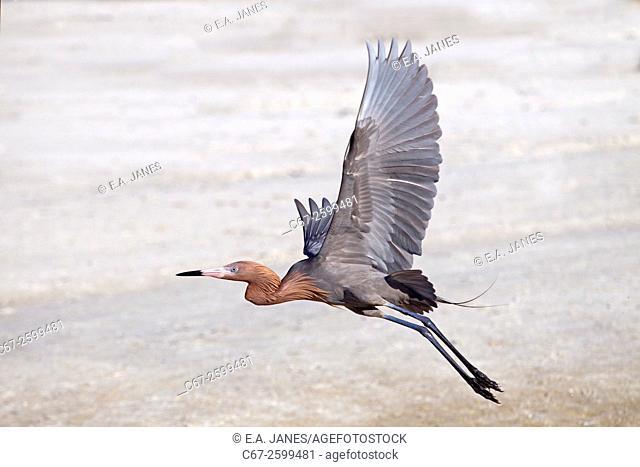 Reddish Egret Egretta rufeescens fishing in a lagoon on Fort Myers beach Gulf Coast Florida USA