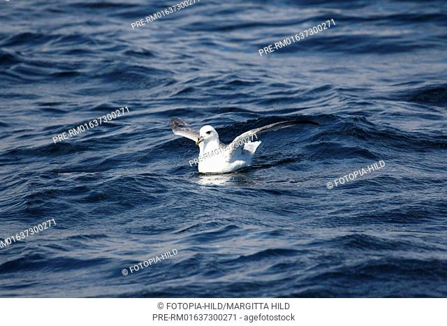 Fulmar, Fulmarus, Calf of Eday, Eday, Orkney Islands, Scotland, United Kingdom / Eissturmvogel, Fulmarus, Calf of Eday, Eday, Orkney Inseln, Schottland