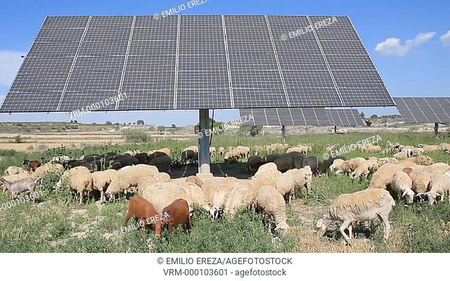 Flock and solar panels. Arbeca, Lleida, Catalonia, Spain