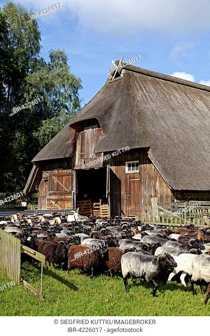 Flock of sheep in front of a sheep shelter, Wilsede, Lüneburg Heath, Lower Saxony, Germany