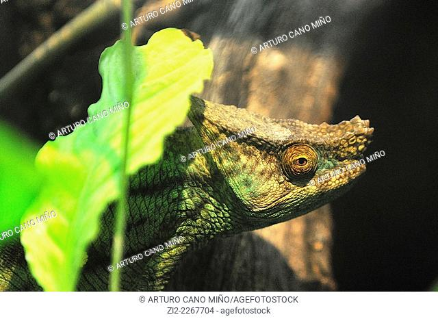 Parson's chameleon Calumma parsonii. Zoo-Aquarium Casa de Campo. Madrid, Spain