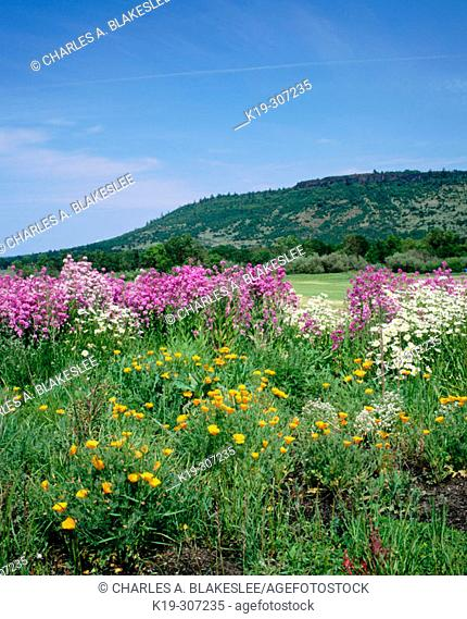 Spring wildflowers bloom at Upper Table Rock. Jackson County. Southern Oregon. USA