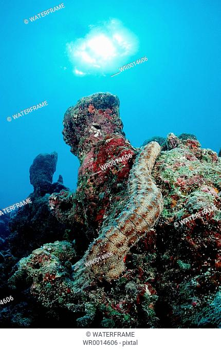 Striated Sea Cucumber at Coral Reef, Bohadschia graeffei, Indian Ocean, Maldives