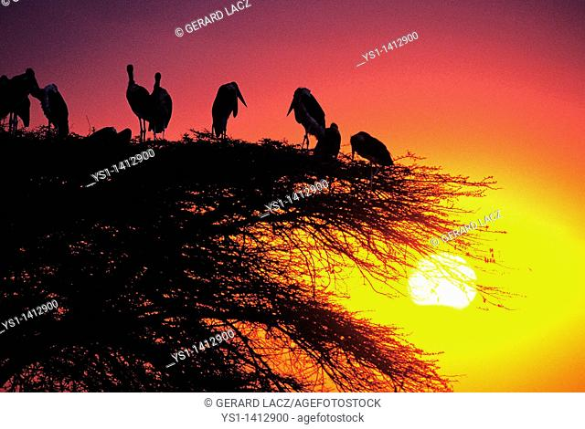 MARABOU STORK GROUP leptoptilos crumeniferus STANDING ON ACACIA TREE, MASAI MARA PARK IN KENYA