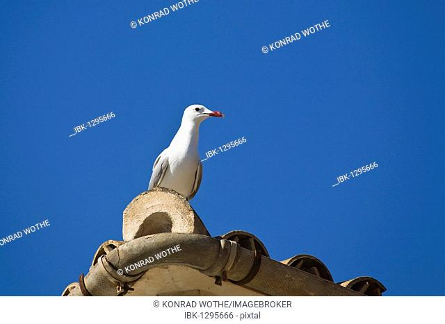 Audouin's Gull (Larus audouinii) sitting on a roof, Mallorca, Majorca, Spain, Europe