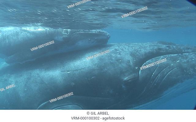 Humpback whales Megaptera novaeangliae, mother and calf. Tonga. South Pacific