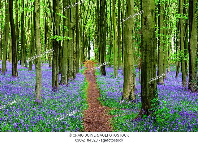 Pathway though bluebell and beech woodland in spring, Wrington, Somerset, England