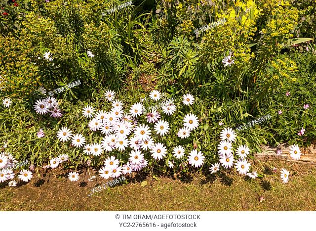 Cape Daisy daisies growing in a Uk garden