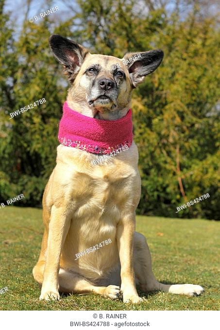 mixed breed dog (Canis lupus f. familiaris), Malinois-mixed breed she-dog with pink scarf sitting in a meadow, Germany