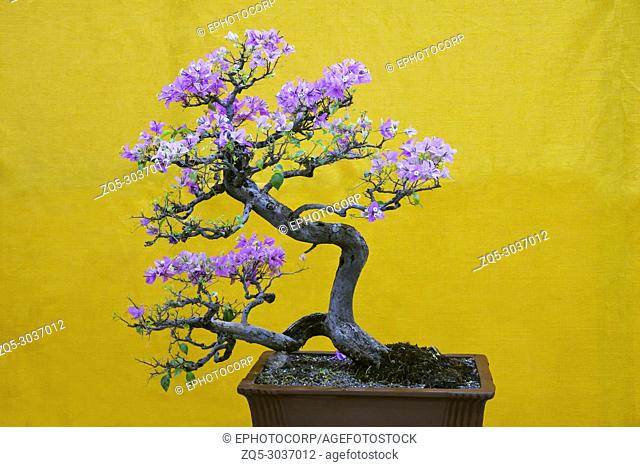 Mix-color Bougainvillea Spectabilis tree, Bonsai Exhibition Pune Shivajinagar, Pune, Maharashtra, India