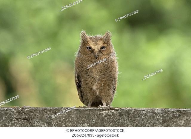 Mountain Scops owl, Otus spilocephalus, Sattal, Uttarakhand, India
