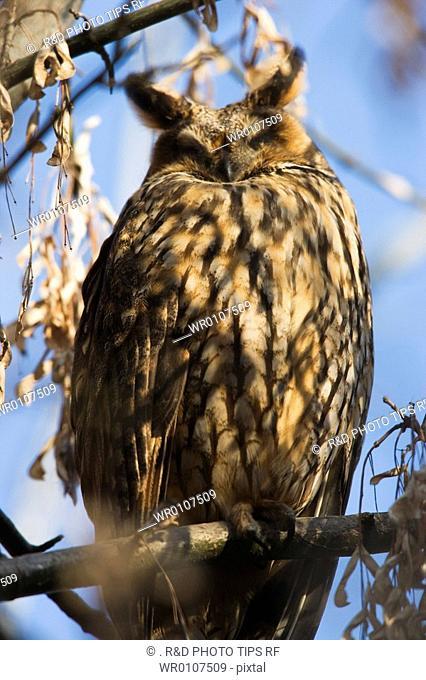 Long-Eared Owl. Asio otus