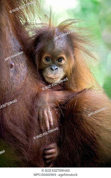 Sumatran Orangutan (Pongo abelii) nine month old baby, Gunung Leuser National Park, north Sumatra, Indonesia