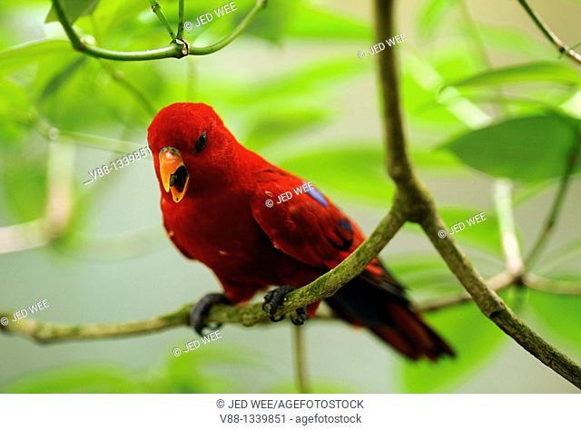 Red Lory (Eos bornea), Singapore Zoological Gardens, Singapore