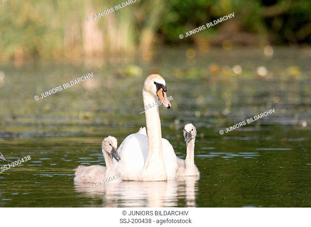 Mute Swan (Cygnus olor). Adult with cygnets swimming on a river. Germany