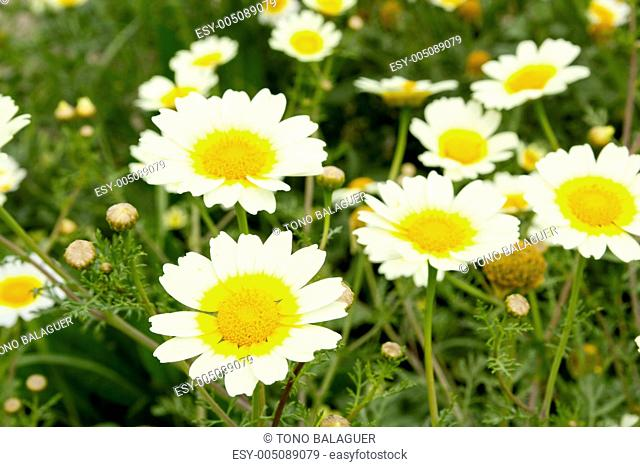 daisy spring flowers field yellow and white meadow