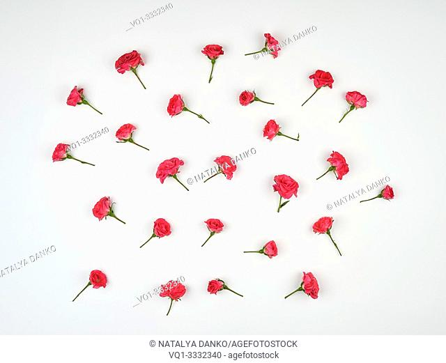 blooming buds of pink roses on a white background, top view, flat lay