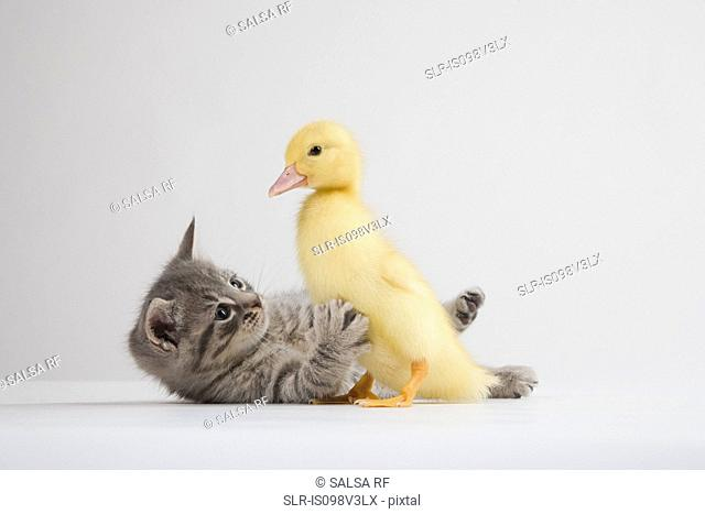 Kitten and duckling, studio shot