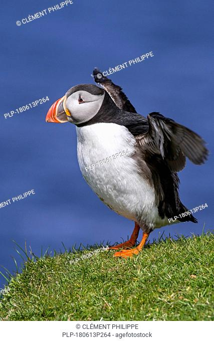 Atlantic puffin (Fratercula arctica) flapping wings on sea cliff top in seabird colony, Scotland, UK