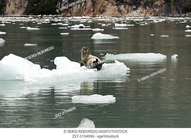 Harbor seals (Phoca vitulina) on iceberg near the Dawes Glacier, Endicott Arm, Tongass National Forest, Alaska, USA. Cliff-walled fjords sliced into the...