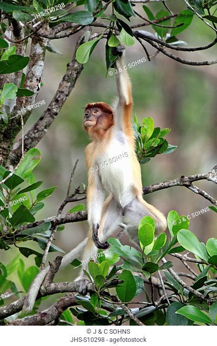 Proboscis Monkey,Nasalis larvatus,Labuk Bay,Sabah,Borneo,Malaysia,Asia,young climbing on tree