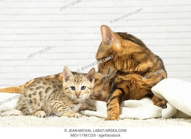 Bengal Cat, adult and kitten