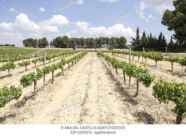 Spring vineyards Fontanars dels Alforins Valencian community Spain