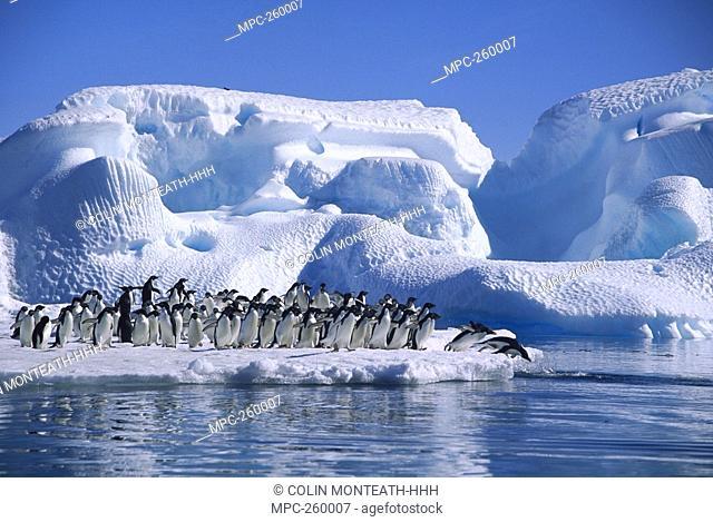 Adelie Penguin Pygoscelis adeliae, group diving from icefloe in Hope Bay, Antarctic Peninsula, Antarctica