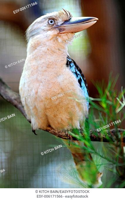A close up shot of an Australian Kookaburra