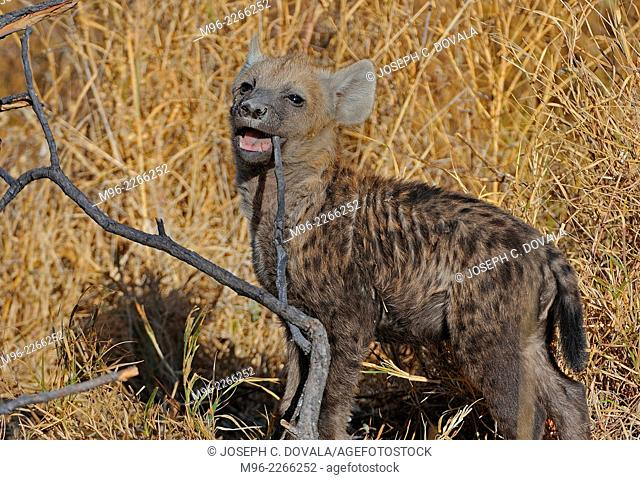 Young spotted hyena cub plays with stick, Savuti, Botswana, Africa