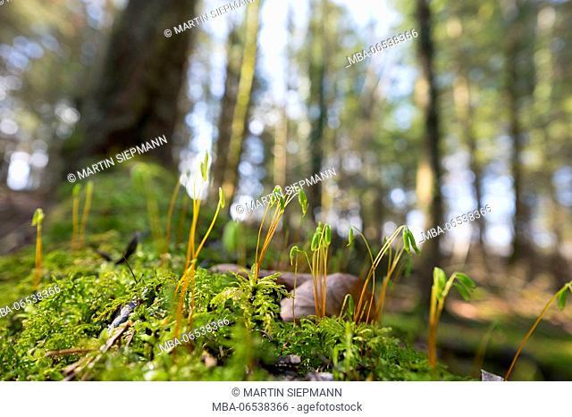 Moss with spore capsules (Cynodontium polycarpum), Isar floodplains, Geretsried, Pupplinger Au, Upper Bavaria, Bavaria, Germany