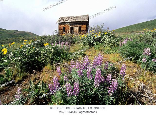 Abandoned homestead with lupine, Methow Wildlife Area, Washington