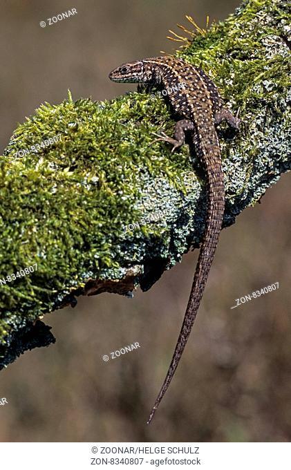 Waldeidechse keine andere Reptilienart dringt weiter in den Norden vor, bis zum 70. Breitengrad - (Mooreidechse - Foto vom Weibchen) / Viviparous Lizard lives...