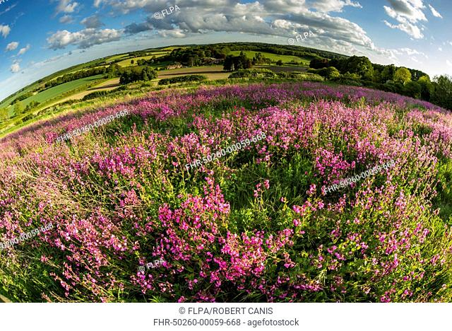 Red Campion (Silene dioica) flowering mass, growing on arable farmland in evening sunlight, Kent, England, May