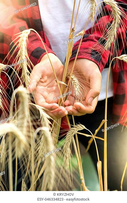 Closeup image of golden ripe wheat ears in young farmers hands