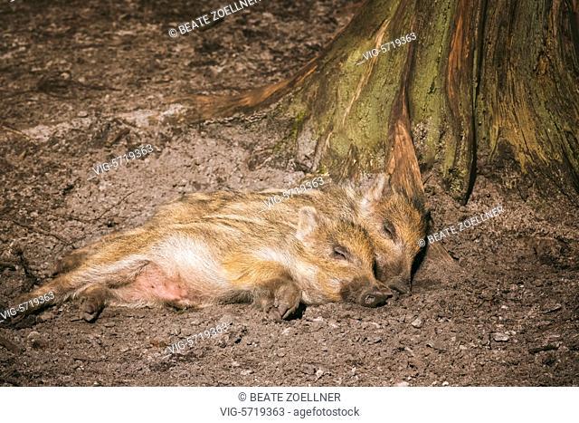 Germany, HAMBURG-RISSEN, Zwei Wildschwein-Frischlinge liegen aneinander gekuschelt auf dem Waldboden im Wildgehege im Forst Klövensteen (Hamburg-Rissen) und...