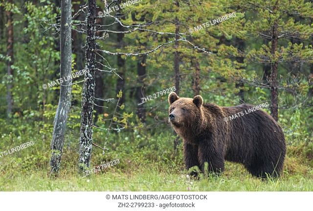 Brown bear, Ursus arctos, standing looking at something, in forest, many trees around, Kuhmo, Finland