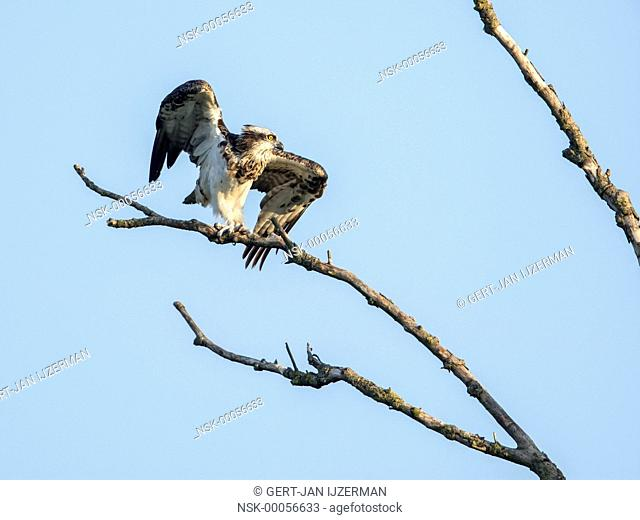 Dutch Osprey (Pandion haliaetus) on a branch, the netherlands, overijssel, kampen, ijssel