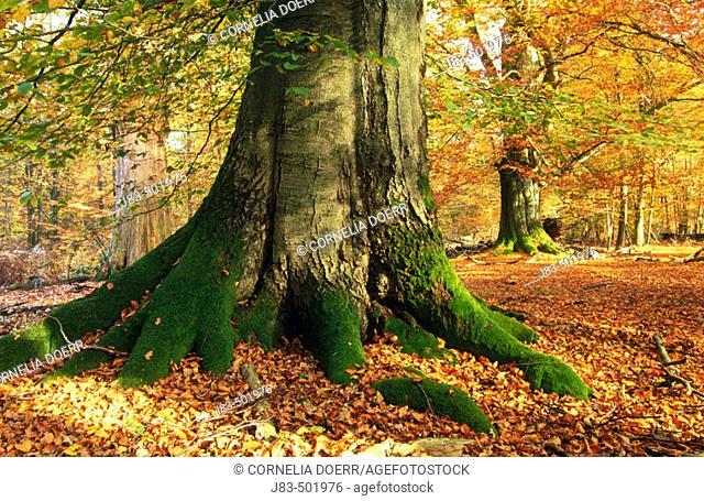 Beech tree, forest. Hessen, Germany