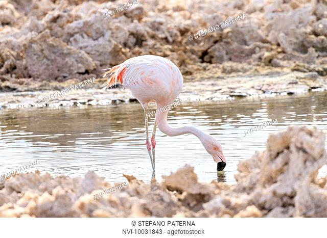 Chilean flamingo (Phoenicopterus chilensis), Sector Soncor, Reserva Nacional los Flamencos, Los Flamencos National Reserve, Atacama Desert, Chile