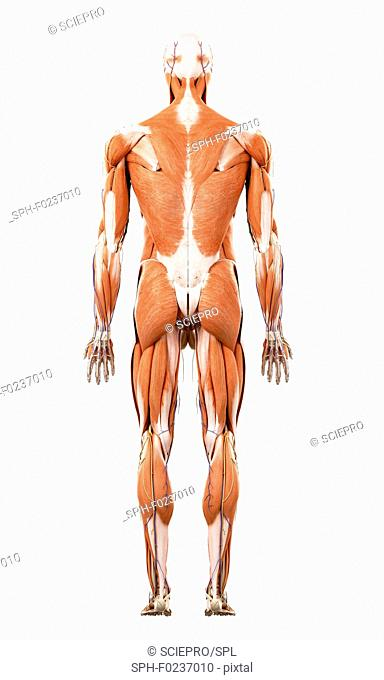 Illustration of the human muscles