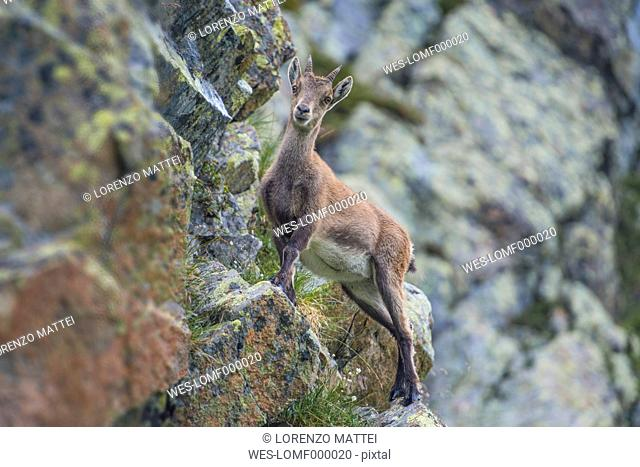 Switzerland, Lac de Cheserys, Alpine Ibex on a rock