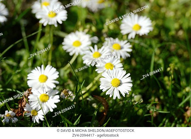 Common daisy (Bellis perennis) blossoms in a meadow