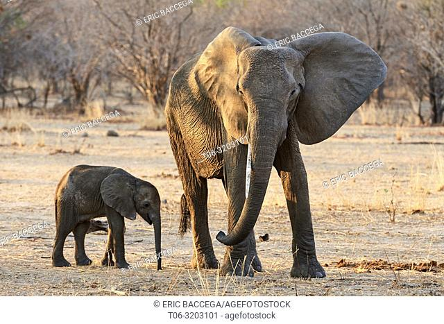 African elephant, young calf standing next to its mother (Loxodonta africana), South Luangwa National Park, Zambia