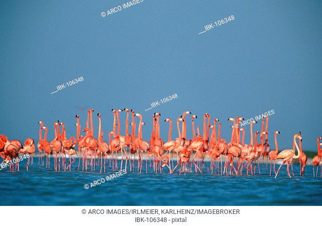 American Flamingos, Yucatan, Mexico / (Phoenicopterus ruber ruber)