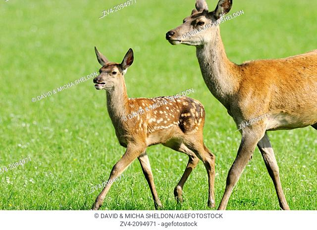 Close-up of a red deer (Cervus elaphus) calf with his mother running on a meadow