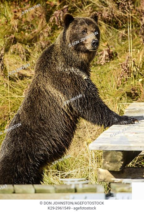 Grizzly bear (Ursus arctos)- standing against boat dock in search of sockeye salmon, Chilcotin Wilderness, BC Interior, Canada
