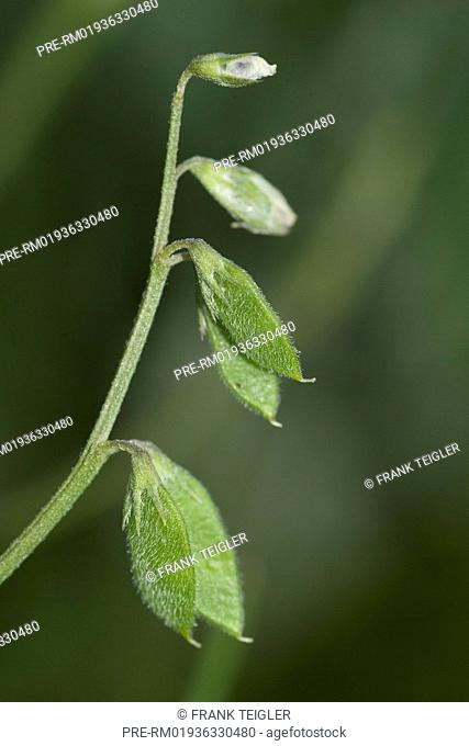 Hairy Tare, Vicia hirsuta / Rauhaarige Wicke, Vicia hirsuta