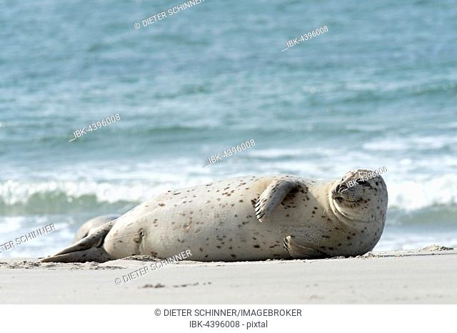 Smiling female grey seal (Halichoerus grypus), resting on her side, Helgoland Dune, North Sea, Schleswig-Holstein, Germany